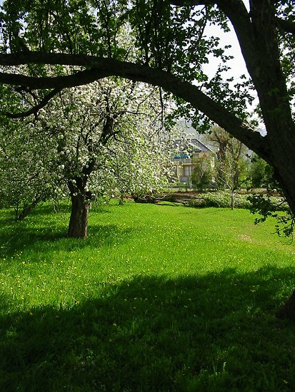 Foto van onze appelbomen in het voorjaar