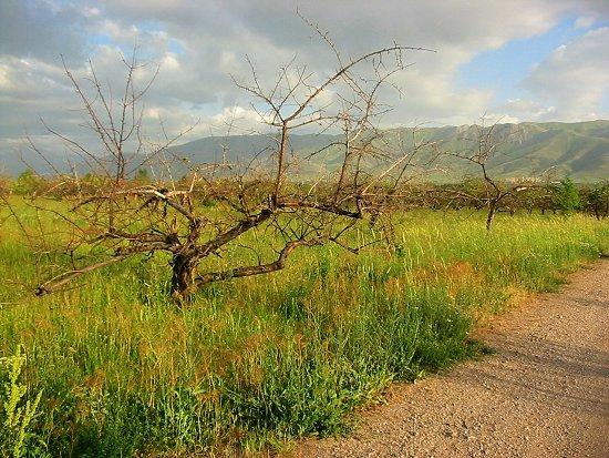 Verdroogde en afgestorven appelbomen bij Mitsjoerin in Kazachstan