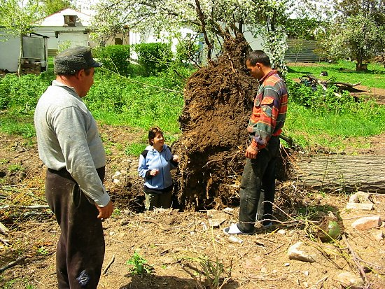 Foto van Elmira die in het gat staat van de omgetrokken boom
