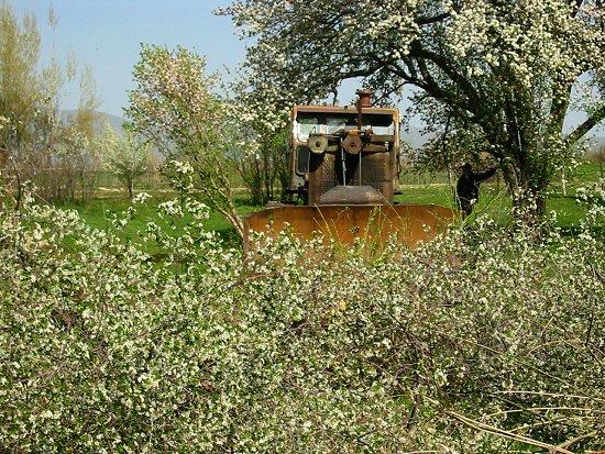 Foto van de door de bulldozer verwijderde kersenbomen
