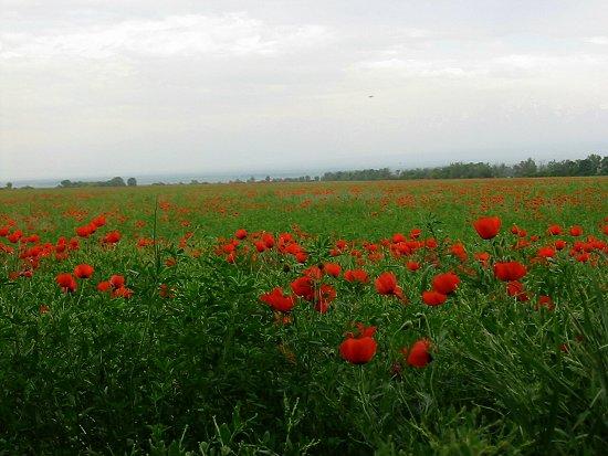 Klaproosveld in Kazachstan