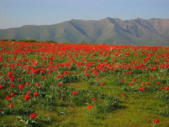 Foto van Greig's tulpen op Krasne Gorky