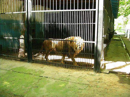 Leeuw achter tralies