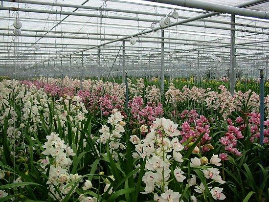Orchideeën gekweekt in de kas