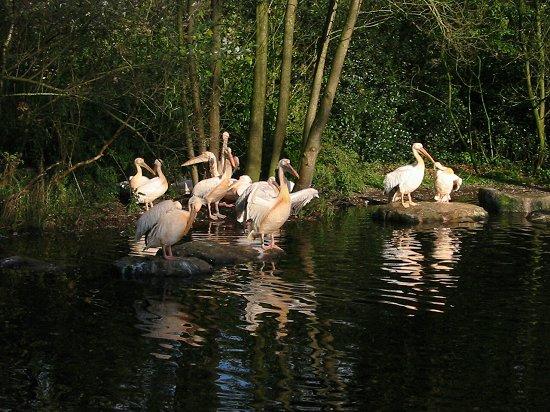 Zonnende pelikanen in Emmen