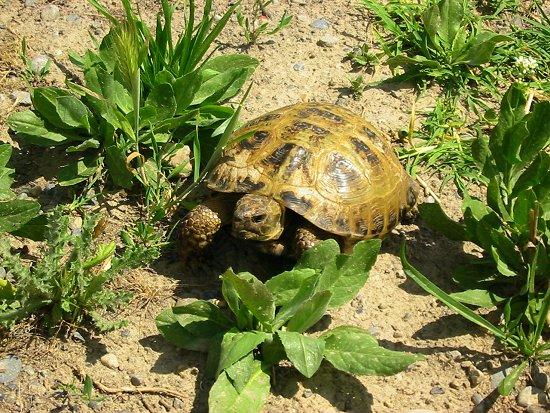 Foto van een schildpad in het wild in Kazachstan
