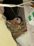 Duif op het nest