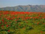 Krasne Gorky met rode tulpen