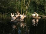 Zonnende pelikanen