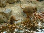 Een aapje speelt met water