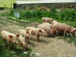 Varkens op inspectie