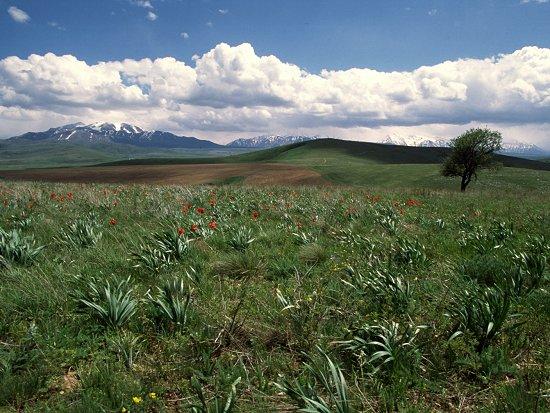 Tulpen bij het bergdorpje Jirsu