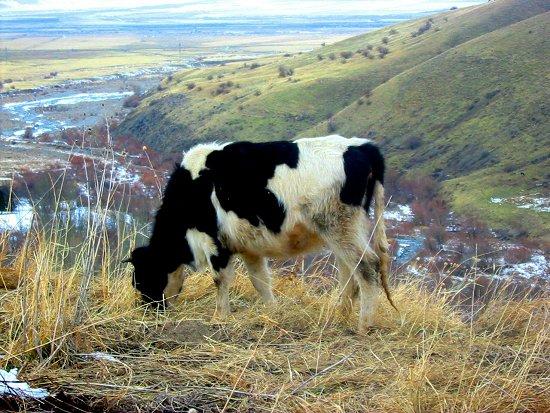 Wietske 1, onze eerste zelf aangekochte koe